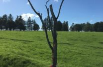 The 'danger tree' at Newfoundland Memorial Park – 100th Anniversary of the Somme Battlefield Tour