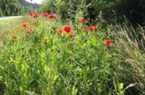 Poppies in Flanders – 100th Anniversary of the Somme Battlefield Tour