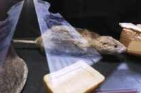 One of Torpille the dog's rats on display at the In Flanders Field Museum, The Cloth Hall, Ypres – Messines Discovery Battlefield Tour